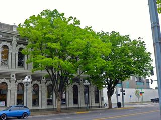 Two last US Bank trees