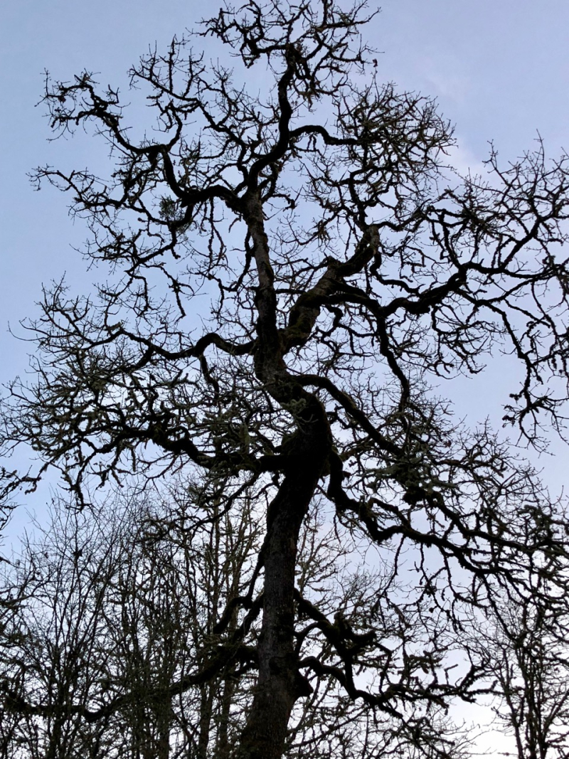 Oak tree in rural south Salem