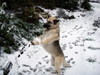 Dog_dancing_with_a_snowball