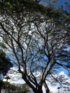 Napili_kai_parking_lot_tree