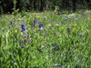 Wildflowers_in_canyon_creek_meadow