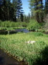 Dog_on_metolius_island