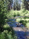 Dog_on_metolius_island2