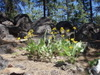 Metolius_flowers_and_rocks