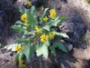 Metolius_flowers_and_rocks2