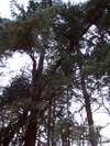 Leaning_fir_tree